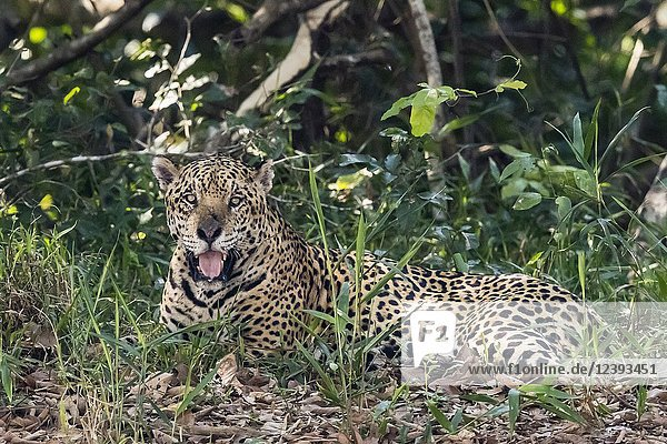 An adult male jaguar  Panthera onca  resting on the riverbank  Rio Tres Irmao  Mato Grosso  Brazil.