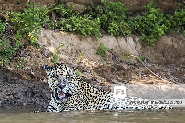 An adult male jaguar  Panthera onca  resting in the Rio Tres Irmao  Mato Grosso  Brazil.