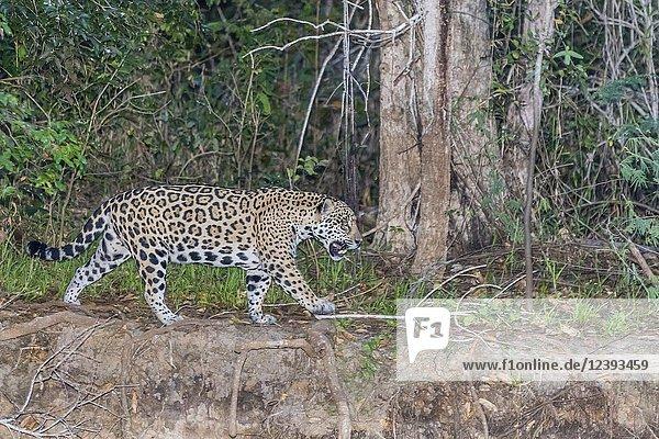 An adult female jaguar,  Panthera onca,  walking at twilight,  Rio Negro,  Mato Grosso,  Brazil.