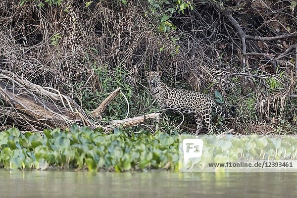 An adult jaguar  Panthera onca  walking at twilight  Rio CuiabaÌ.   Mato Grosso  Brazil.