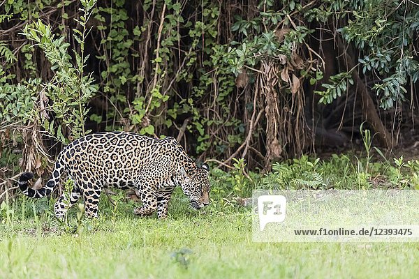 An adult jaguar  Panthera onca  on the riverbank of the Rio Picuiri  Mato Grosso  Brazil.