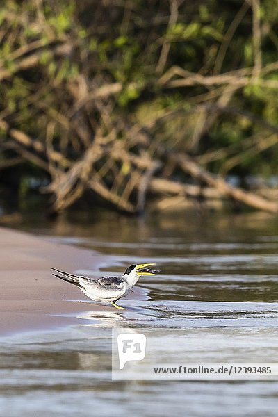 An adult large-billed tern  Phaetusa simplex  eating a fish near Porto Jofre  Mato Grosso  Brazil.