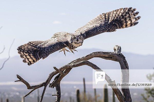 Trained captive great horned owl  Bubo virginianus  Arizona Sonora Desert Museum  Tucson  Arizona  USA.