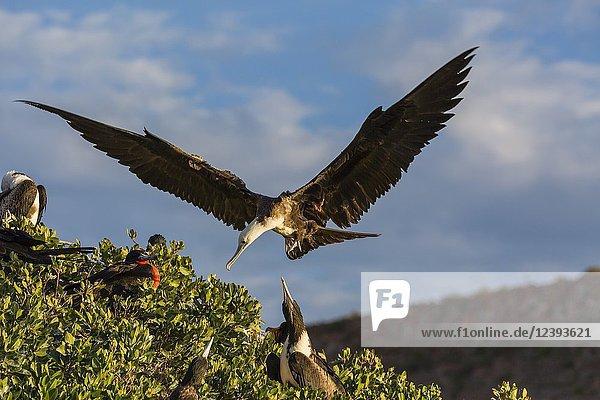 Juvenile magnificent frigatebird  Fregata magnificens  San Gabriel Bay  Espiritu Santo Island  BCS  Mexico.