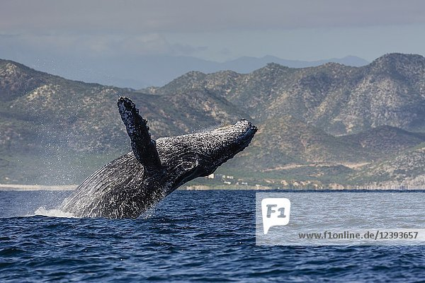 Adult humpback whale  Megaptera novaeangliae  breaching in the shallow waters of Cabo Pulmo  BCS  Mexico.