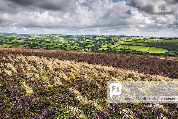 Heather on Trentishoe Down in late summer in Exmoor National Park  North Devon  England.