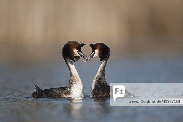 Great Crested Grebes / Haubentaucher ( Podiceps cristatus )  pair of  meeting breatst to breats  shaking heads  courtship ceremony.