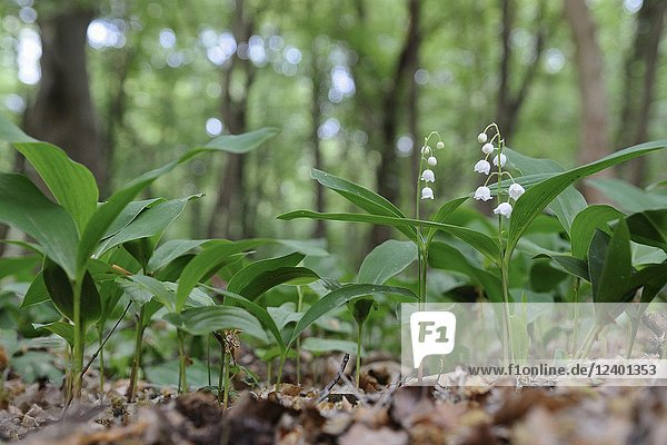 Lilies of the Valley ( Convallaria majalis ) blossoming in a natural forest  Europe.