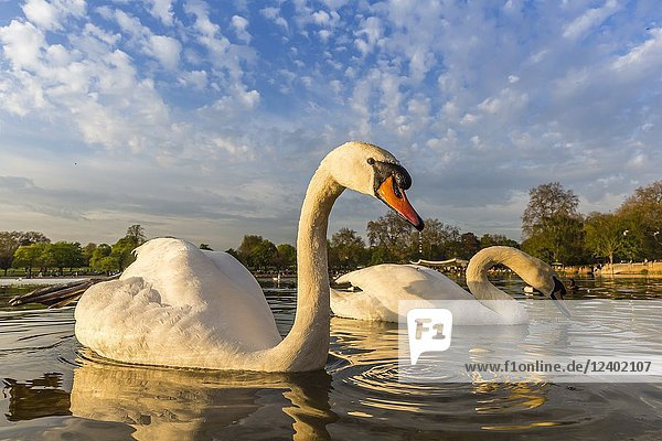 A pair of swans at lake edge in Hyde Park  London  England.