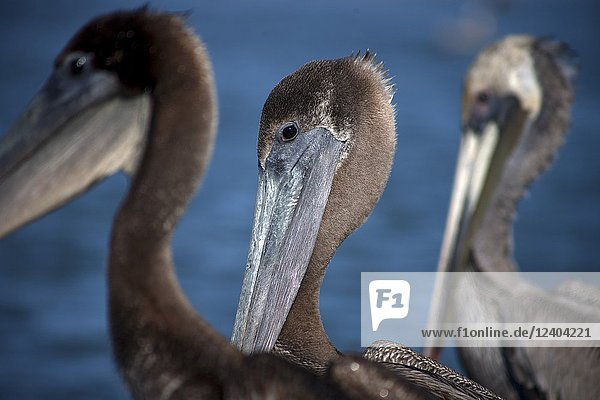 A pelican stands in the marina of the town of Loreto in Mexico's southern Baja California state  February 13  2009.