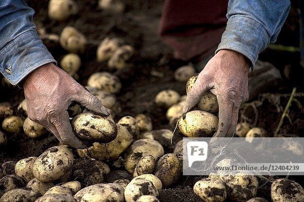 A man harvests potatoes on a farm in Meson Viejo  Mexico State  Mexico  September 25  2009.