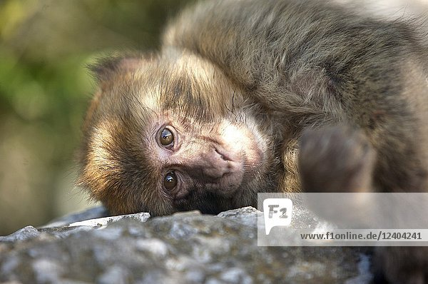 A Gibraltar Monkey or Barbary Macaque sits on a rock in Gibraltar  Great Britain  May 12  2012. Gibraltar is a British overseas territory located in the Cadiz province  Andalusia  Spain.