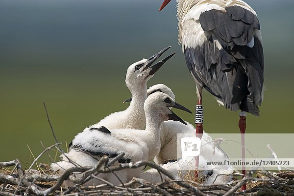 White stork  young  asking some to eat (Ciconia ciconia)  France.