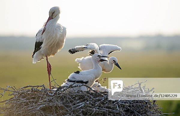 White stork with youngs on the nest (Ciconia ciconia)  France.