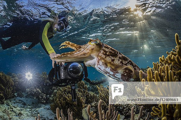 Adult broadclub cuttlefish  Sepia latimanus  with photographer on the reef at Sebayur Island  Flores Sea  Indonesia.