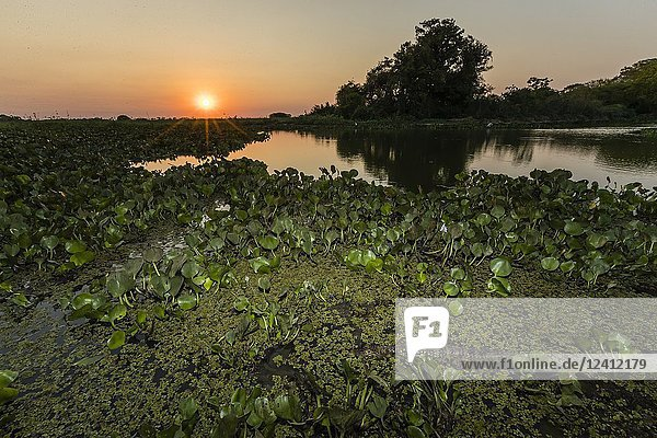 An adult yacare caiman  Caiman yacare  near the water at sunset  Pousado Alegre  Mato Grosso  Brazil.