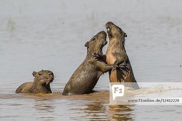 Young capybaras  Hydrochoerus hydrochaeris  at play  Porto Jofre  Mato Grosso  Pantanal  Brazil.