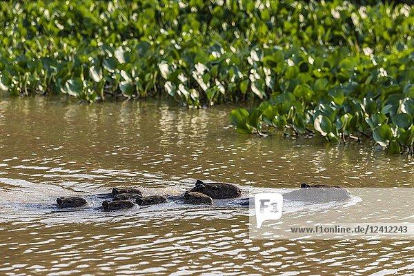 Adult capybaras  Hydrochoerus hydrochaeris  with young  Porto Jofre  Mato Grosso  Pantanal  Brazil.
