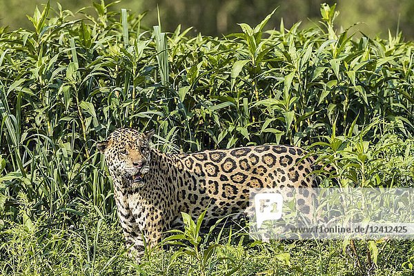 An adult male jaguar  Panthera onca  in tall grass  Rio CuiabaÌ.   Mato Grosso  Brazil.