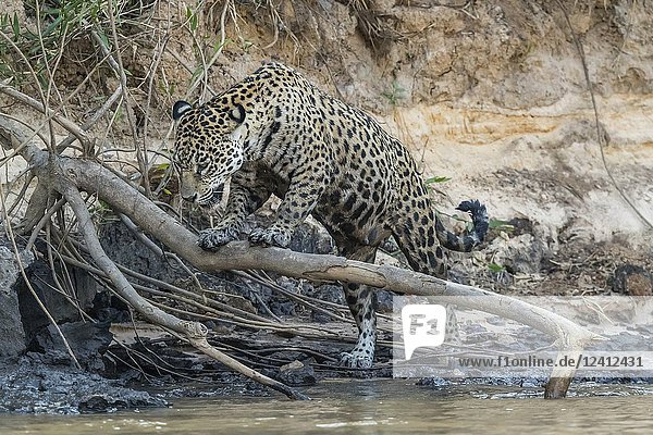 An adult female jaguar  Panthera onca  on the riverbank of Rio Tres Irmao  Mato Grosso  Brazil.