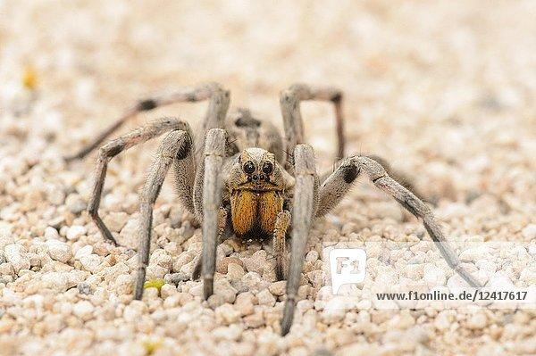 Texas wolf spider (Hogna carolinensis)  Santa Clara ranch  Starr County  Texas  USA.