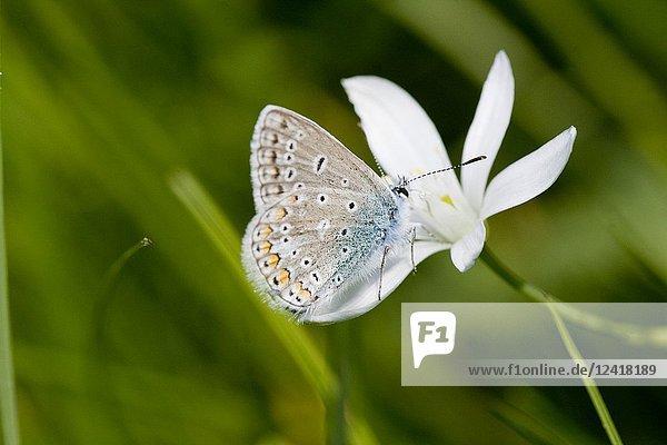 Common Blue  Polyommatus icarus.
