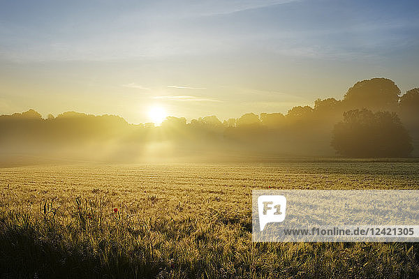 Germany  Bavaria  Swabia  Tussenhausen  Grain field and morning fog at sunrise  Augsburg Western Woods Nature Park
