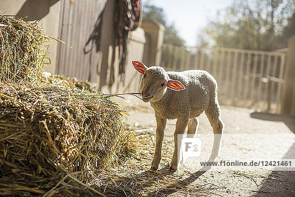 Lamb eating hay on a farm