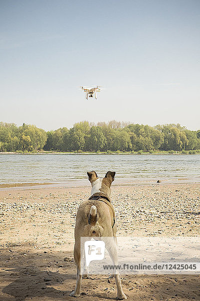Dog watching drone flying at a river