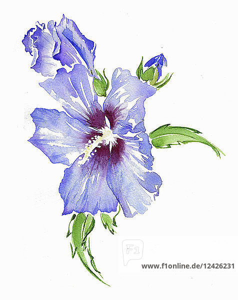 Watercolour painting of hibiscus