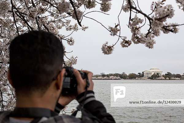 Photographer under cherry blossoms that line the Tidal Basin near the National Mall and Jefferson Memorial in Washington D.C.  USA