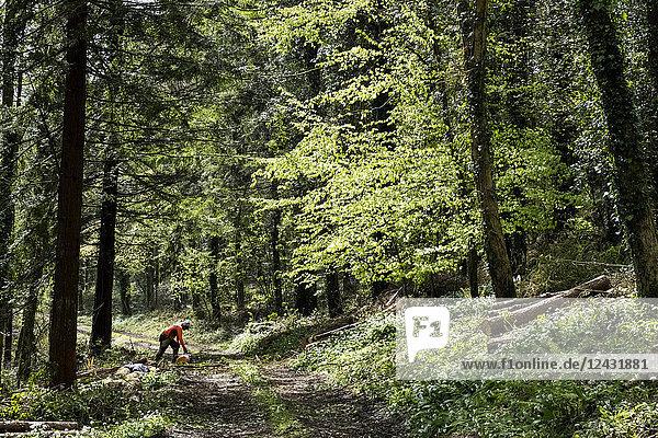 Mann mit leuchtend orangefarbener Spitze rodet einen Teil des Waldes. Fällt Baumstamm mit Kettensäge.