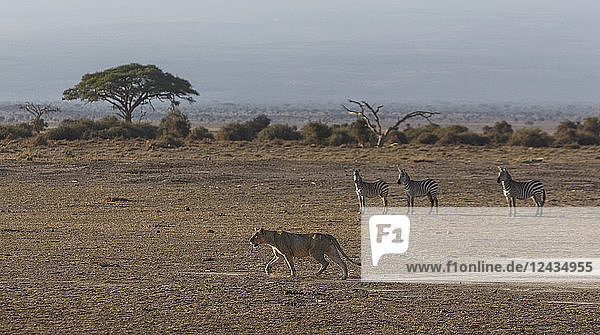 Zebras watching a lioness in Amboseli National Park  Kenya  East Africa  Africa