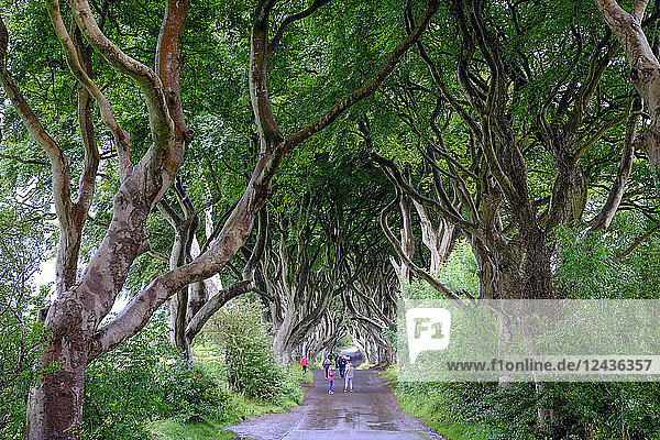 The Dark Hedges  an avenue of beech trees  Game of Thrones location  County Antrim  Ulster  Northern Ireland  United Kingdom  Europe