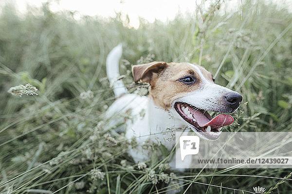 Portrait of Jack Russel Terrier on a meadow Portrait of Jack Russel Terrier on a meadow