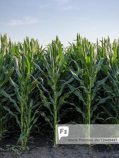 Serbia  Vojvodina. Green corn stems in a row  Zea mays