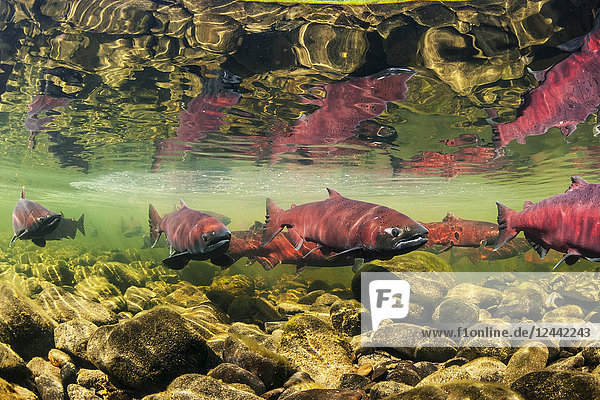 Chinook Salmon  also known as King Salmon (Oncorhynchus tshawytscha) schooled in a holding pattern prior to spawning in a tributary of the Deshka River  South-central Alaska; Alaska  United States of America