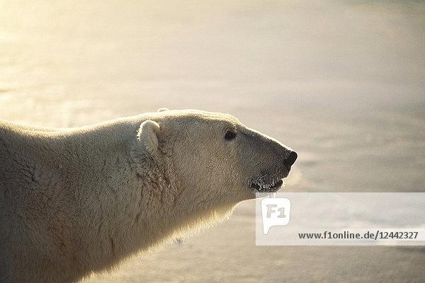 Polar Bear Profile At Sunset Churchill Manitoba Canada Winter Portrait