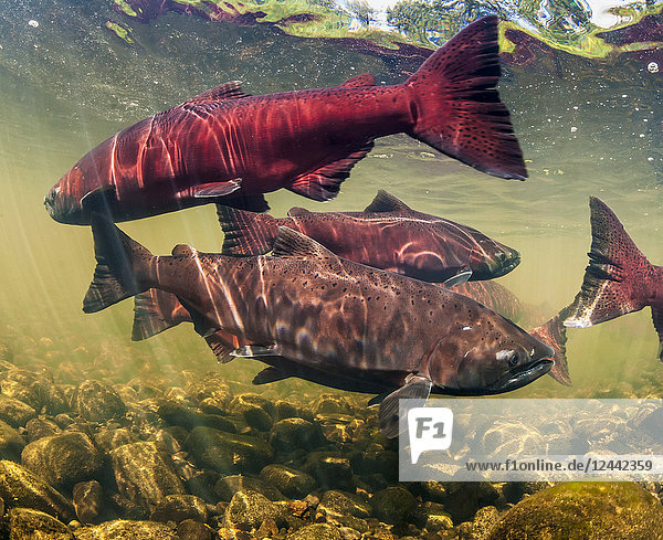 Chinook Salmon  also known as King Salmon (Oncorhynchus tshawytscha) schooled in a holding pattern prior to spawning in a tributary of the Deshka River in summer; Alaska  United States of America
