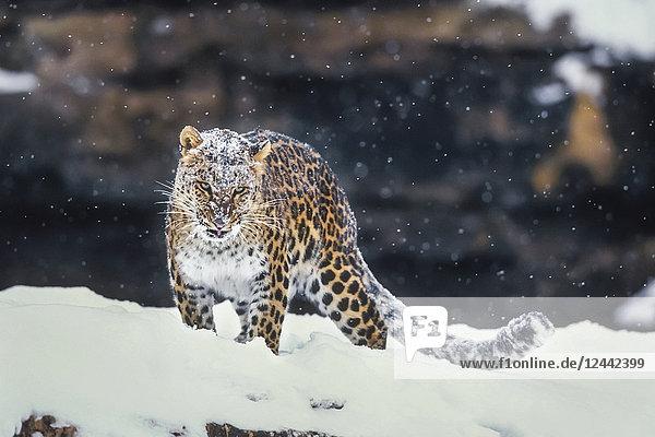 Amur Leopard Standing In Snow