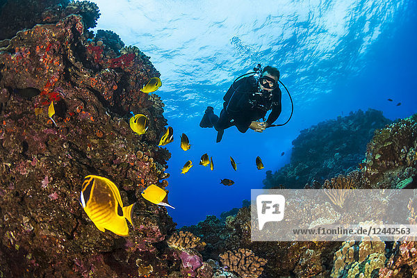 Scuba diver looking at bright Butterflyfish (Chaetodontidae); Lanai City  Lanai  Hawaii  United States of America