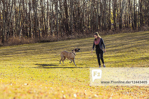 A beautiful young woman allowing her Great Dane to run and have fun in an off-leash dog park during a warm autumn evening; Edmonton  Alberta  Canada