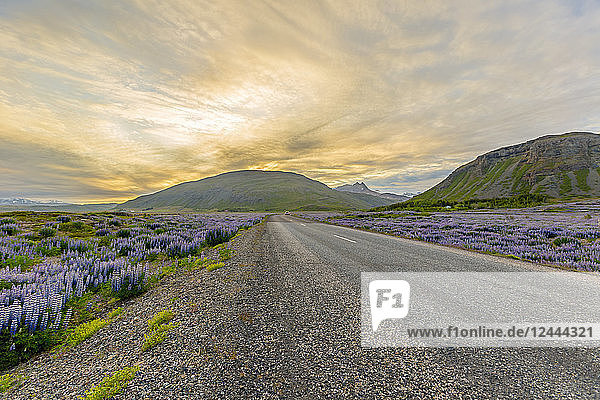 A view of the sunset behind the wide open road that runs through fields of purple lupine flowers and mountain landscape,  Iceland