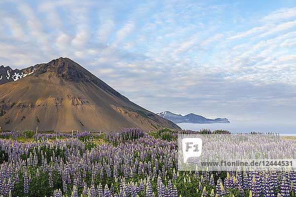 A beautiful volcanic mountain scene with wispy clouds and blue sky is accented in late evening light behind a field full of lupine wildflowers  Iceland