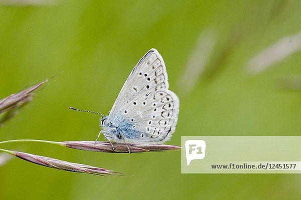 Eros Blue  Polyommatus eros  similar to Common Blue  Polyommatus icarus. Flies single generation from June to September. Host plants lotus sp and Oxytropis campestris.