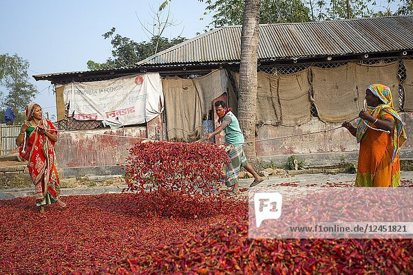 Labors are spreads out red chilies for drying on factory in the river side of Jamuna Char at Sariakandi  in Bogra  Bangladesh.