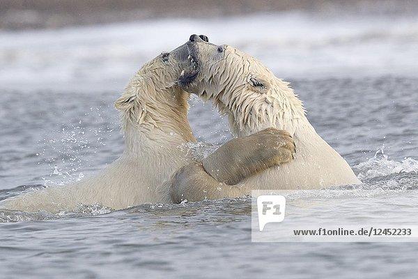 United States  Alaska  Arctic National Wildlife Refuge Kaktovik  Polar Bear( Ursus maritimus )  along a barrier island outside Kaktovik  Alaska. Every fall  polar bears (Ursus maritimus) gather near Kaktovik on the northern edge of ANWR  Arctic Alaska  Fall  conflict  fight/play in the water.