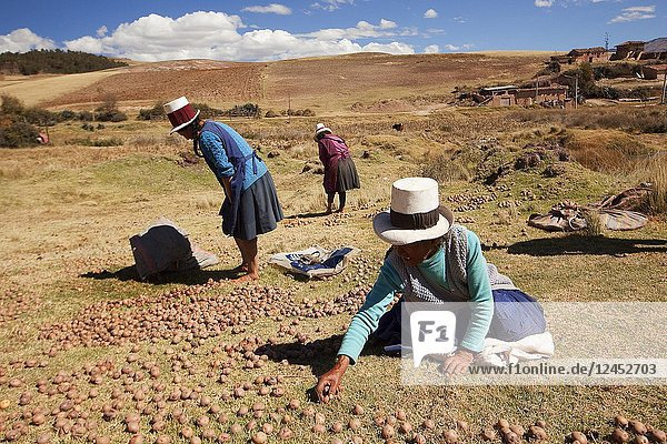 Indigenous women of Sacred Valley picking and squashing potatoes with their feet  Cusco Region  Peru  South America