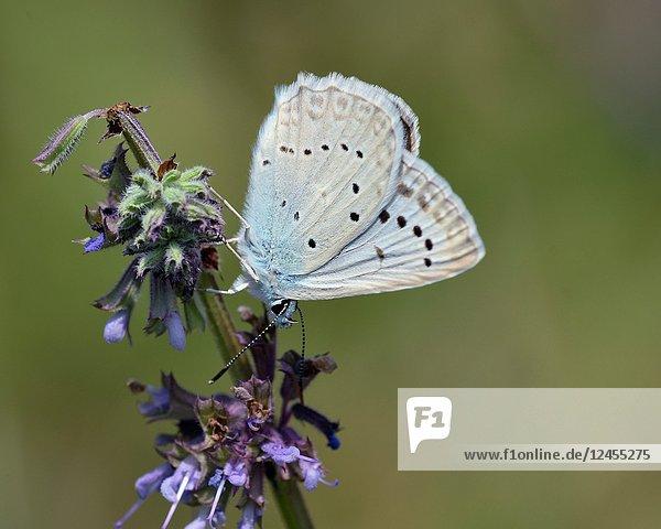 Meleageria daphnis - Meleager's Blue  Greece