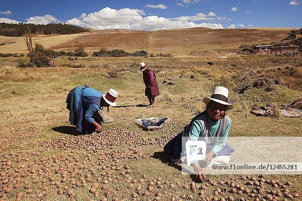Indigenous women of Sacred Valley picking potatoes  Cusco Region  Peru  South America